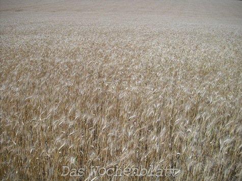 Weizen in Fram (Jan Päßler)