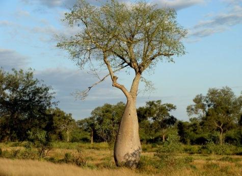 Flaschenbaum im Chaco