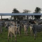 Es mehren sich die Viehdiebstähle im Chaco