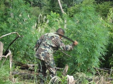 Mehr als 240 Tonnen Marihuana rund um Capitán Bado zerstört