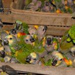 250 Blaustirnamazonen in der Kolonie Neuland beschlagnahmt