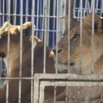 Zirkus Osvaldo Terry will seine Tiere dem Zoo in Asunción verkaufen