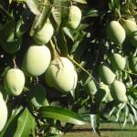 Was man alles aus Mangos machen kann