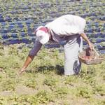 Erste Erdbeer Ernte zum Verkauf bereit