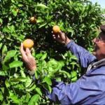 Zerstörung von Zitrusfrucht-Plantagen wegen HLB Virus geht weiter