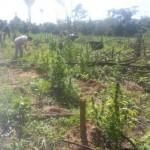 Acht Hektar Marihuana zerstört