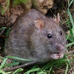 Ratten im Anmarsch