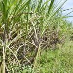 Zuckerrohr könnte verschwinden