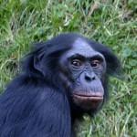 Schimpansen würden gerne kochen