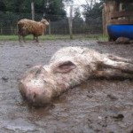 Rätselhaftes Schafsterben in Encarnación