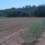 Spargelanbau in Paraguay