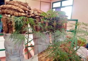 Maniok-Mehl nach Europa und den USA