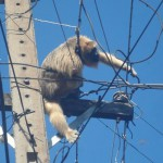Stromausfall: Ursache Brüllaffe
