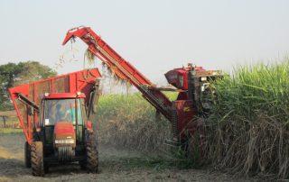Die Zuckerrohrernte beginnt