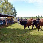Deutscher Kolonist präsentiert neue Rinderrasse