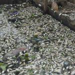 Tausende Fische verendet