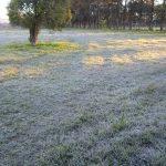 Yerba Landwirte haben Angst vor Frost