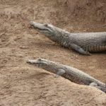 Jagd auf Krokodile