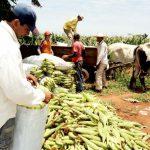 Preise für Mais steigen um 60%