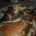 Krokodiljäger gefangen
