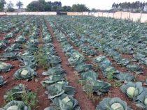 Der Gemüsemarkt bricht ein
