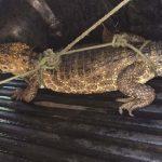 Ein Alligator auf Abwegen