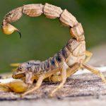 Skorpione können tödlich sein
