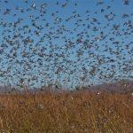 Invasion von Heuschrecken im Chaco