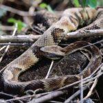 Durch die Überschwemmungen tauchen alle Arten von Schlangen im Chaco auf