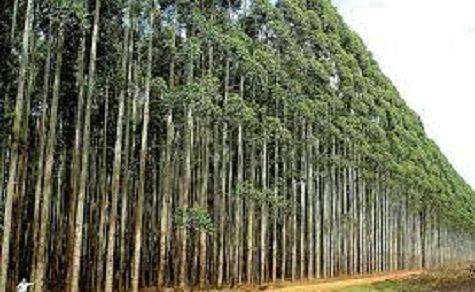 Über 180.000 Tonnen Eukalyptus exportiert