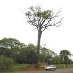 Der Stroessner Baum bleibt erhalten