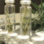 Cannabis-Öl wird bald in Paraguay produziert