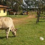 Caminera auf Rinderjagd
