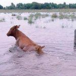 Über 450.000 Rinder in Gefahr