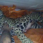 Weswegen wurde der Jaguar erschossen?