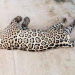 Der erschossene Jaguar kommt in ein Museum
