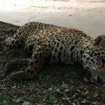 Jaguar im Stadtzentrum von Loma Plata liquidiert