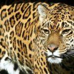 Der erschossene Jaguar wird seziert