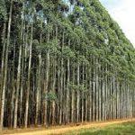 Diebstahl von Eukalyptus Pflanzen in deutscher Kolonie