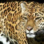 Jaguar im Chaco: kein Menschenfreund