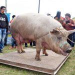 Mehr als 50.000 Besucher auf dem Schweinefest