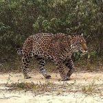 Für das Überleben des Jaguars im Gran Chaco