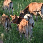 Ein leidliches Thema in Paraguay: Viehdiebstähle