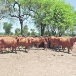 Franzose prangert Viehdiebstähle im Chaco an
