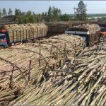 Tödlicher Unfall bei der Zuckerrohrernte in Independencia