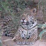 Auf den Spuren der Jaguare