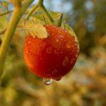 Tomaten generieren gute Einnahmen