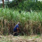 Gouverneur von Guairá verstärkt Initiativen im Zuckerrohrsektor