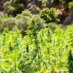 Selbstkultivierung von Marihuana in Paraguay