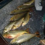 Schwarzfischer und Ordnungskräfte stoßen aufeinander